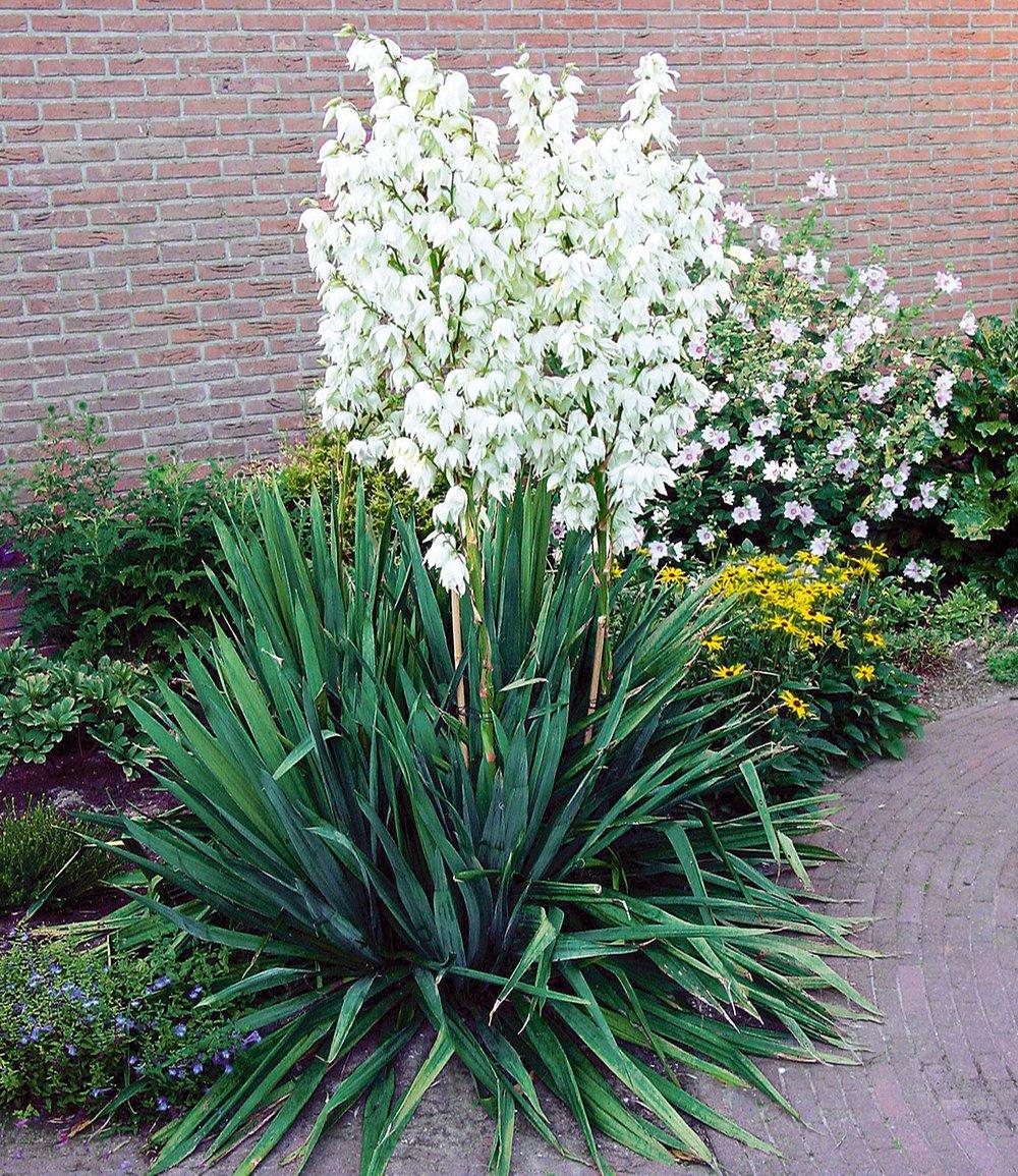 Palmlilie Yucca 1a Pflanzen Online Kaufen Baldur Garten