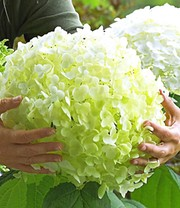 Buitenhortensia 'Incrediball®'