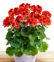 Staande Geranium 'Special Orange'