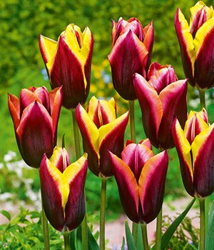 Tulpenmix 'Striped Bats'