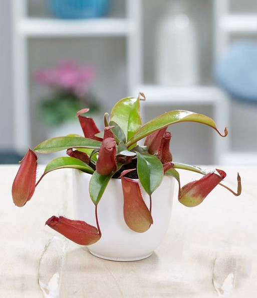 Nepenthes 'Bloody Mary'