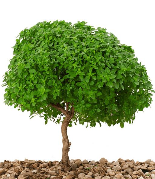 Echt basilicum boompje   Kruiden bij BALDUR- Nederland