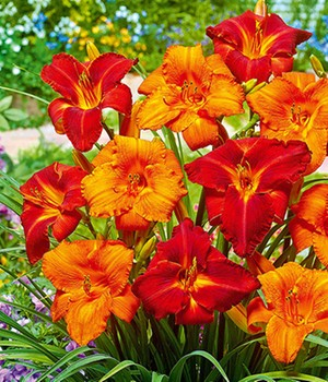 Hemerocallis Mix 'My Reggae & Amadeus'