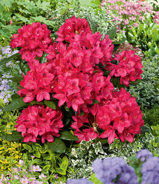 Rhododendron rood