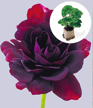 Hanggeranium 'Royal Night'