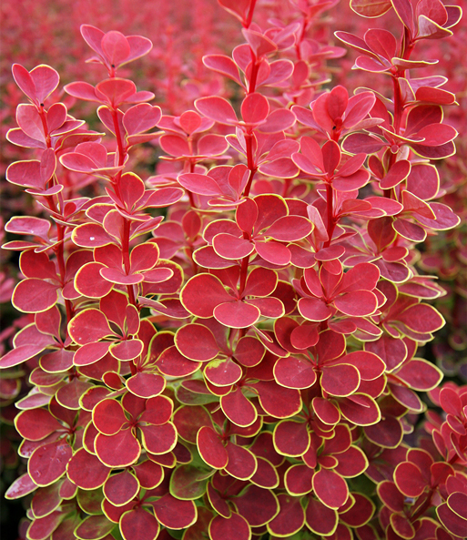 Berberis 'Orange Sunrise'