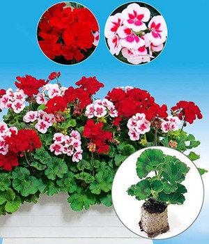 Geranium Mix 'Tumbao® & Smokey Eye White®'