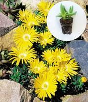 bodembedekker tijm winterharde vaste planten bij baldur. Black Bedroom Furniture Sets. Home Design Ideas