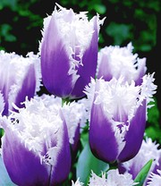 Tulp 'Blue Cummins'