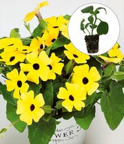 Collectie Thunbergia 'Arizona®'