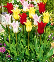 Tulpenmix 'Chic & Beautiful'