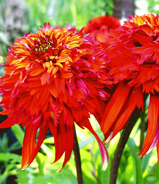 Echinacea 'Hot Papaya'