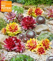 Sempervivum mix 'Chick Charms®'