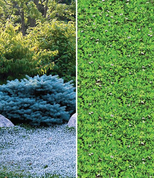 winterharde bodembedekker collectie laag groeiende planten bij baldur nederland. Black Bedroom Furniture Sets. Home Design Ideas