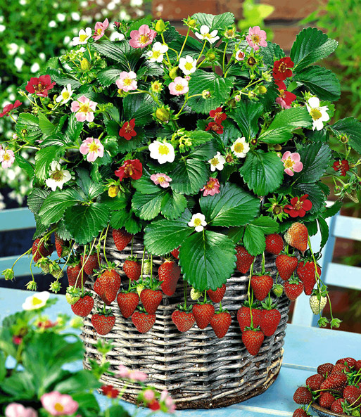 Hang aardbeien 'Flower-Berry'
