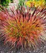 Carex \'Bronze Reflection\' | Siergrassen bij BALDUR- Nederland