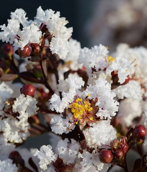 Lagerstroemia Black Solitaire® 'Pure White'