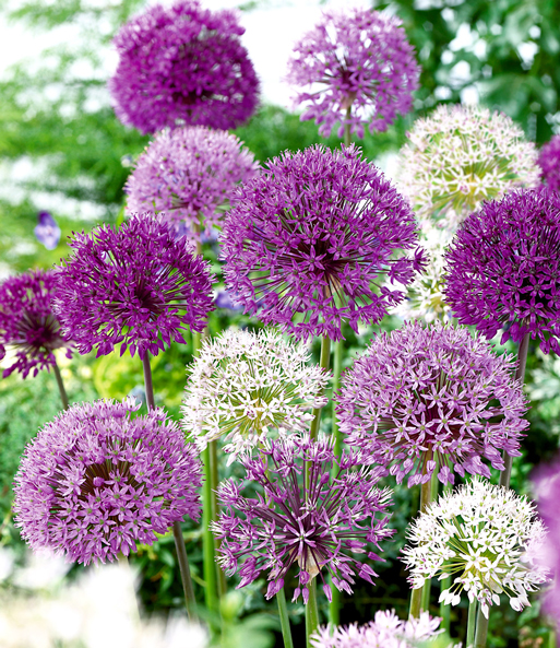 Allium-Mix 'Big Head'