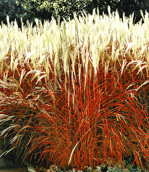 Siergras 'Indian Summer'