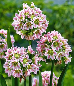 Allium 'South Bells'