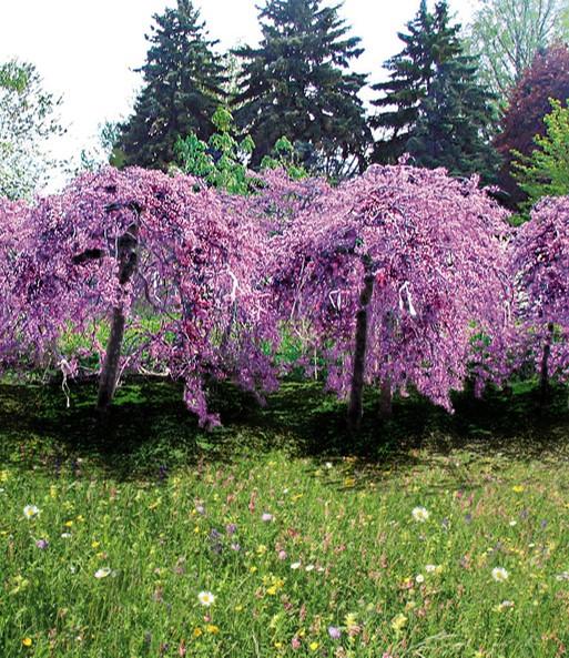 Cercis Lavendel Twist Bloeiende Struiken Bij Baldur