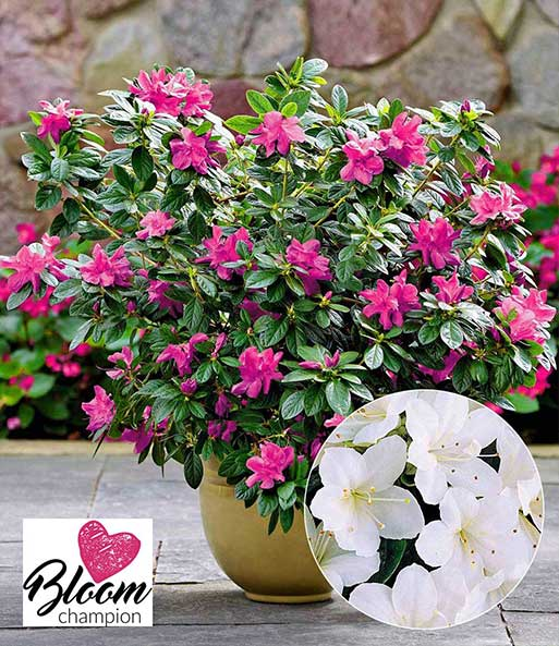 Doorbloeiende Azalea 'Bloom champion' wit