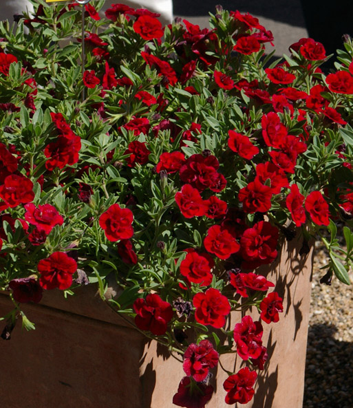 Calibrachoa Petunia 'Superbells® Double Ruby'