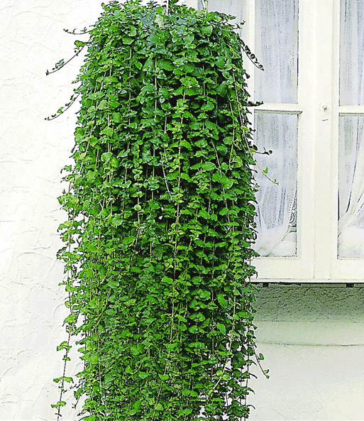Geurende 'Indian Mint'