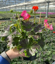 Geranium-Zuil 'Tall, Dark & Handsome®'