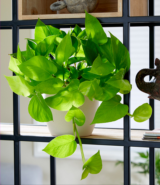 Efeutute Golden Pothos 1a Zimmerpflanzen Baldur Garten