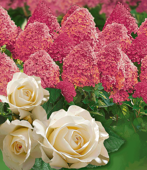 Set Hortensia 'Magical Fire®' & Roos 'Grand Nord'