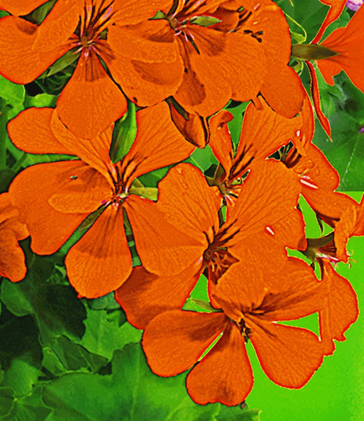 Hanggeranium Villetta® 'Orange'