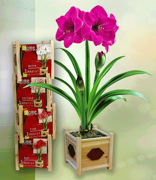 Amaryllis 39 pink 39 incl houten pot e voor in huis bij for Amaryllis en pot interieur