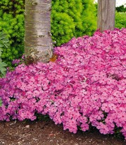 Tapijtphlox 'Mc Daniels Cushion'