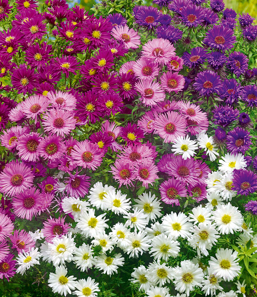 Vaste planten Astermix 'Fall Beauty'