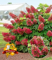 Hortensia 'Ruby Slippers'