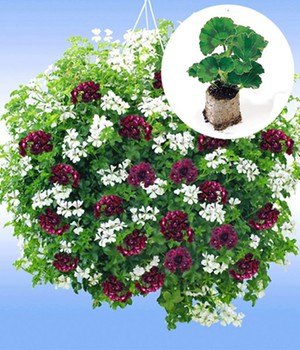 Hanggeranium mix 'Royal Night®' & 'White Glacier®'