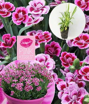 Tuinanjer Pink Kisses®