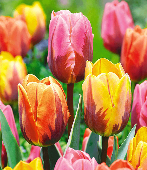 Tulp 'Princess-Mix'