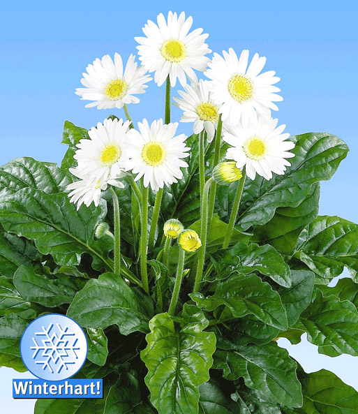Gerbera Garvinea® 'Royal-Wit'