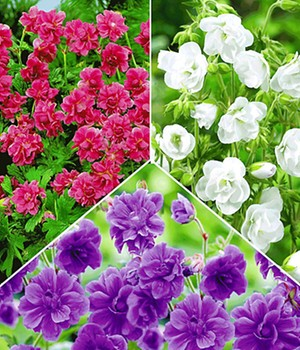 Collectie winterharde geraniums