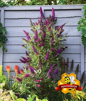 Buddleia 'Straight UP - Butterfly Tower'