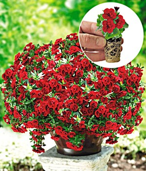 Calibrachoa Petunia 'Double Red Rose'