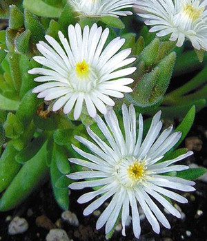 Winterharde ijsbloemen 'White Wonder'