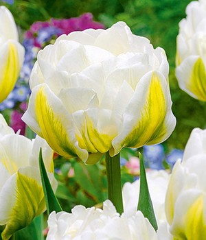 Tulp 'Cool Double'