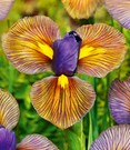 Iris 'Eye of the Tiger'