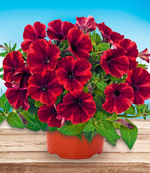 Petunia 'Fiona Flash®'