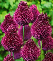 Allium 'Red Sugar'