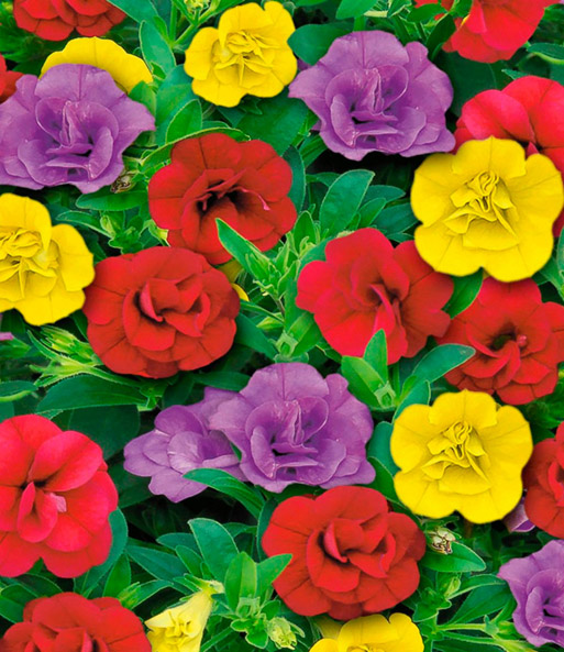 Calibrachoa trixi 39 hot petticoat 39 balkonplanten bij - Calibrachoa trixi ...