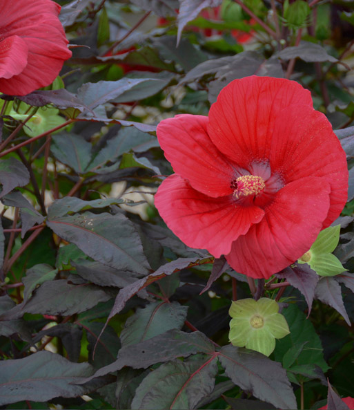 Winterharde Hibiscus 'Summerific®' 'Midnight Marvel'